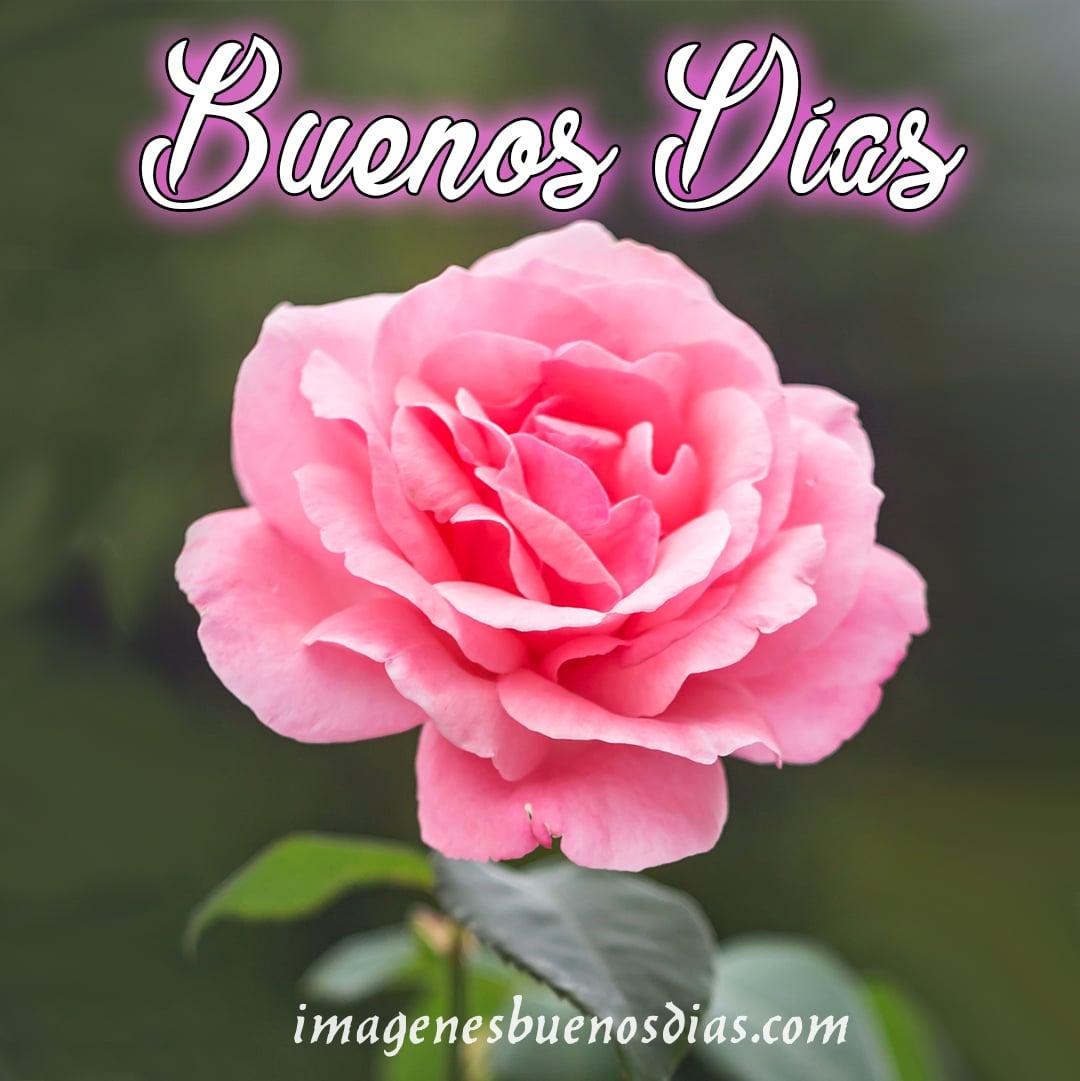 Imágenes buenos días con flores