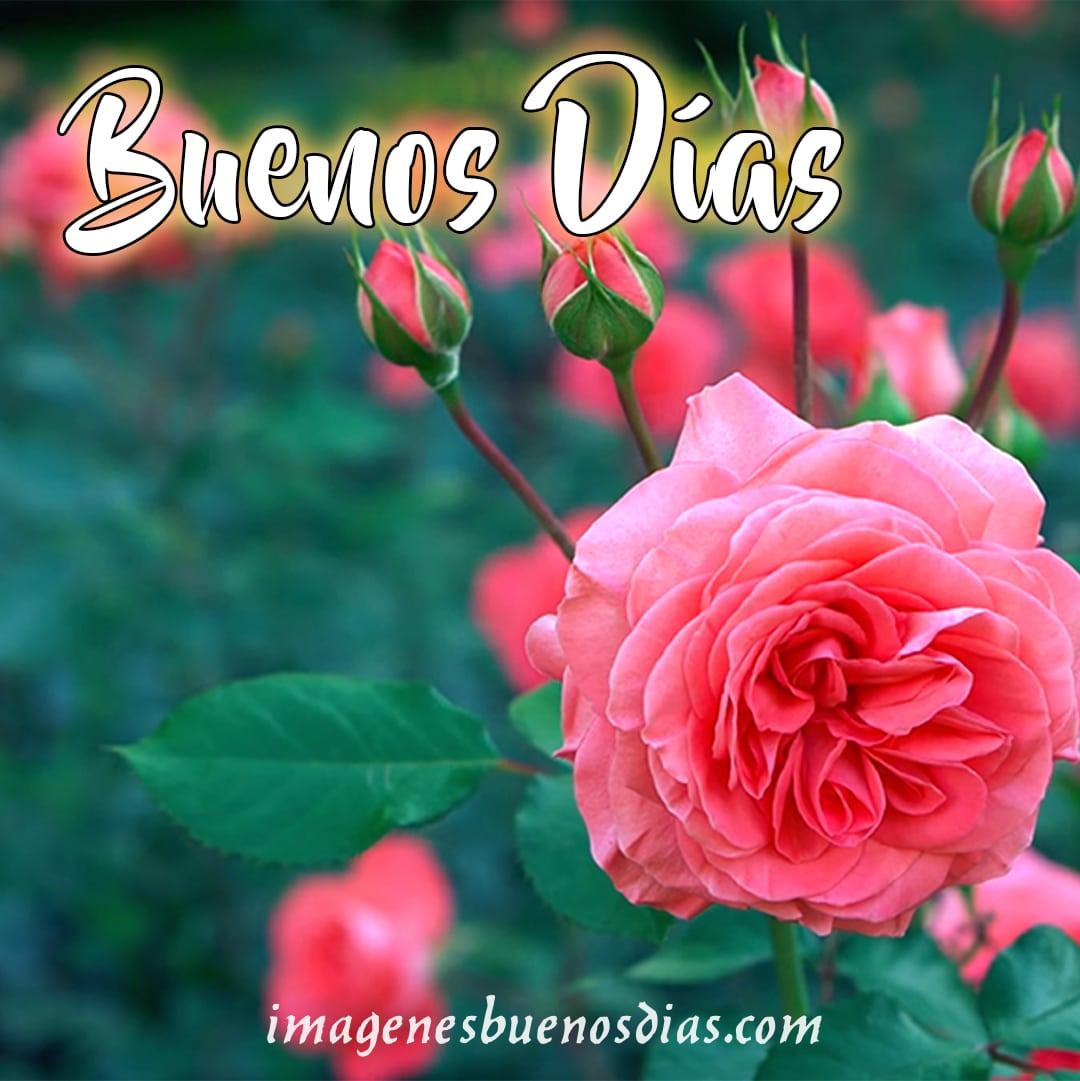 rosas buenos días